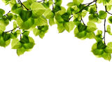 Folha verde Fotos de Stock Royalty Free