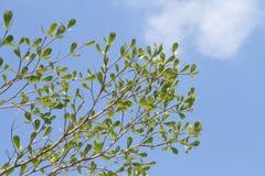 Folha verde Imagem de Stock