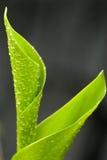 Folha verde Foto de Stock Royalty Free