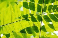 Folha verde Fotos de Stock