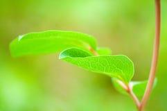 Folha verde Fotografia de Stock Royalty Free