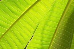 Folha verde abstrata do fundo do teste padrão da árvore da flor do plumeria Fotos de Stock