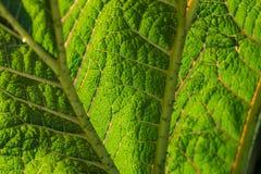 Folha verde ascendente próxima do sumário com enrugamentos Imagens de Stock Royalty Free
