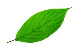 Folha verde-clara Imagens de Stock