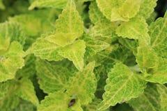 Folha verde-clara Fotografia de Stock Royalty Free