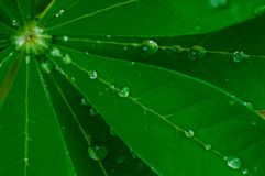 Folha verde-clara do Lupine com gotas de orvalho na luz fresca da manhã foto de stock royalty free