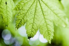Folha verde coberta no orvalho da manhã no sol Imagens de Stock Royalty Free