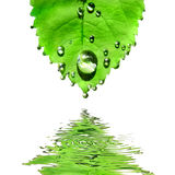 Folha verde com as gotas da água isoladas no branco Imagens de Stock