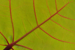 Folha verde com as veias vermelhas macro Fotos de Stock Royalty Free