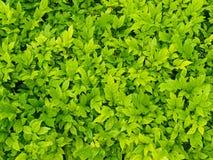 Folha verde com gota da água no fundo preto Imagens de Stock