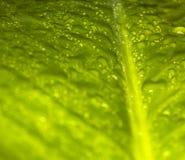 folha verde com gotas da água Imagem de Stock
