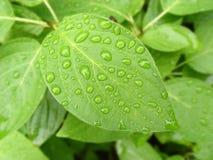 Folha verde com gotas da água Fotografia de Stock