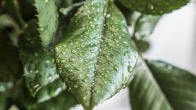 Folha verde com gotas da água Imagens de Stock