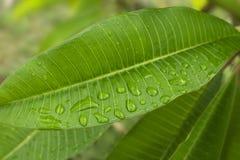 folha verde com gotas da água Fotos de Stock