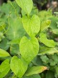 Folha verde com gotas da água para o fundo Imagens de Stock