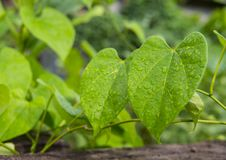 Folha verde com gotas da água para o fundo Fotos de Stock Royalty Free