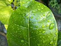 folha verde com gotas da ?gua foto de stock royalty free