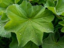 folha verde com gotas da ?gua foto de stock