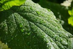 Folha verde com gotas transparentes após a chuva Conceito da ecologia Fundo da natureza Folhas de Grenn imagem de stock