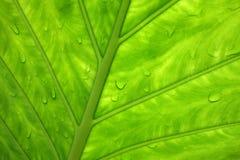 Folha verde com gotejamentos da água Imagens de Stock