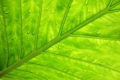 Folha verde com gotejamentos da água Fotografia de Stock