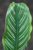 Folha verde com listras brancas foto de stock royalty free