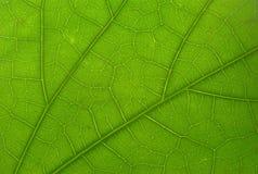 Folha verde com luz do fundo (macro) Imagem de Stock