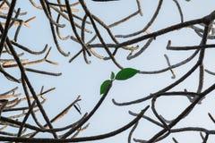 Folha verde com ramo Imagens de Stock Royalty Free