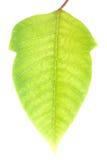Folha verde com trajeto de grampeamento Fotografia de Stock Royalty Free