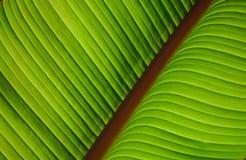 Folha verde com a veia vermelha diagonal Fotos de Stock Royalty Free