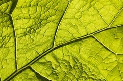 Folha verde com venation macro Fotos de Stock