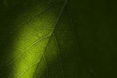 Folha verde como o fundo Fotografia de Stock Royalty Free