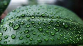 Folha verde da árvore caseiro do lichi em gotas da água perto acima contra outras plantas fotos de stock royalty free