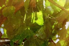 Folha verde da árvore de Pho BO da folha no templo, Tailândia Árvore de Bothi, semente Imagens de Stock