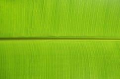 Folha verde da banana Imagens de Stock