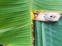 Folha verde da banana foto de stock royalty free