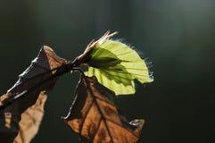 Folha verde da faia sobre as folhas murchos imagem de stock