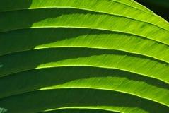 Folha verde da flor, Elephantear Foto de Stock