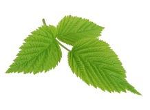 Folha verde da framboesa isolada no branco Imagens de Stock