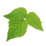 Folha verde da framboesa isolada no branco Imagem de Stock