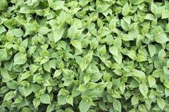 Folha verde da mola Fotos de Stock
