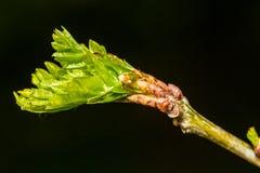 Folha verde da mola Fotografia de Stock Royalty Free