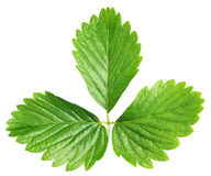 Folha verde da morango isolada no branco Fotos de Stock Royalty Free