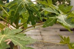 Folha verde da papaia com gota de água após a chuva - plano novo foto de stock royalty free