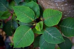 Folha verde da poinsétia Foto de Stock