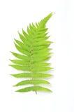 Folha verde da samambaia  Foto de Stock Royalty Free