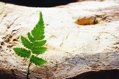 Folha verde da samambaia no fundo de madeira velho da placa, conceito mínimo do contexto da natureza, espaço da cópia foto de stock