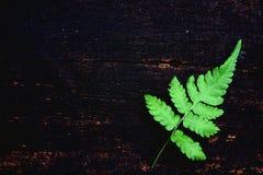Folha verde da samambaia no fundo de madeira velho da placa, conceito mínimo do contexto da natureza, espaço da cópia imagens de stock royalty free