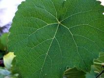 Folha verde das uvas foto de stock