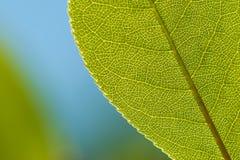 Folha verde de encontro ao fundo azul Fotos de Stock Royalty Free